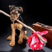 airedale-terrier-puppy-dog-ready-for-travelling