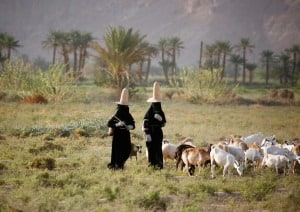 Hadramaut Women Grazing Sheep In A Field, Yemen