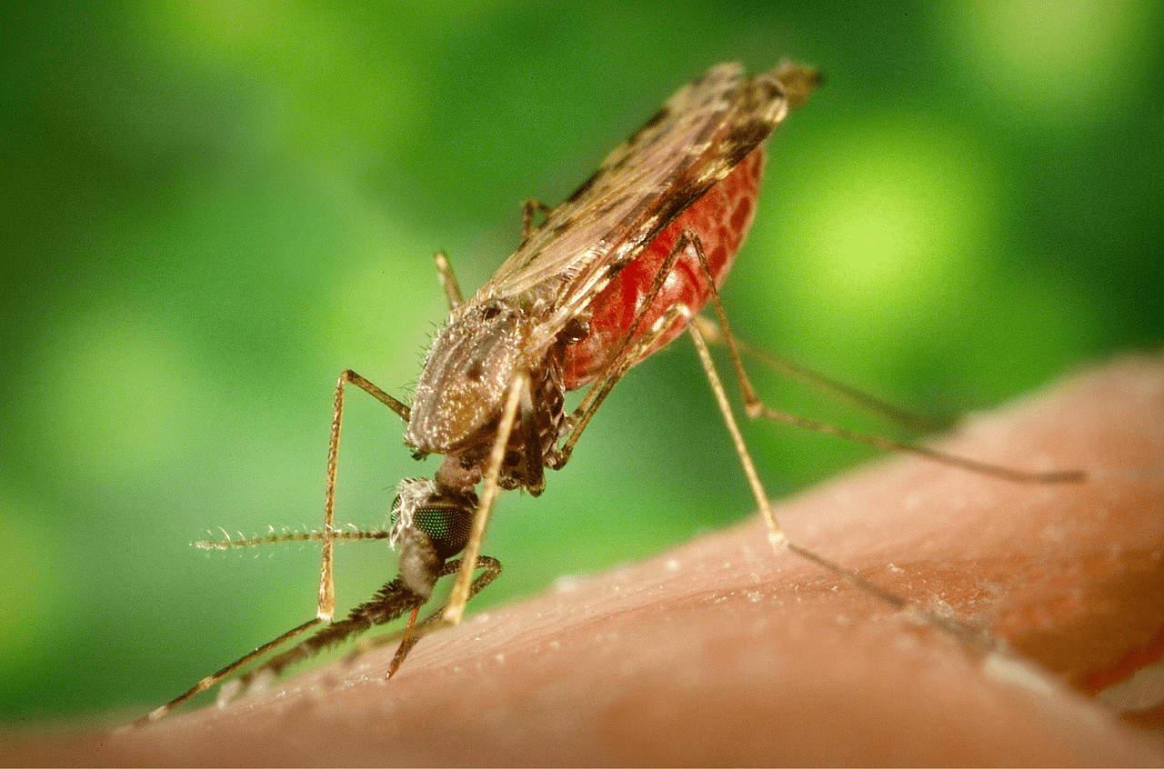 Malaria Mosquito (2015)   Pixabay